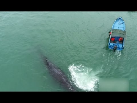 Rescued Sperm Whale Awaits Guide Back to Deep Sea