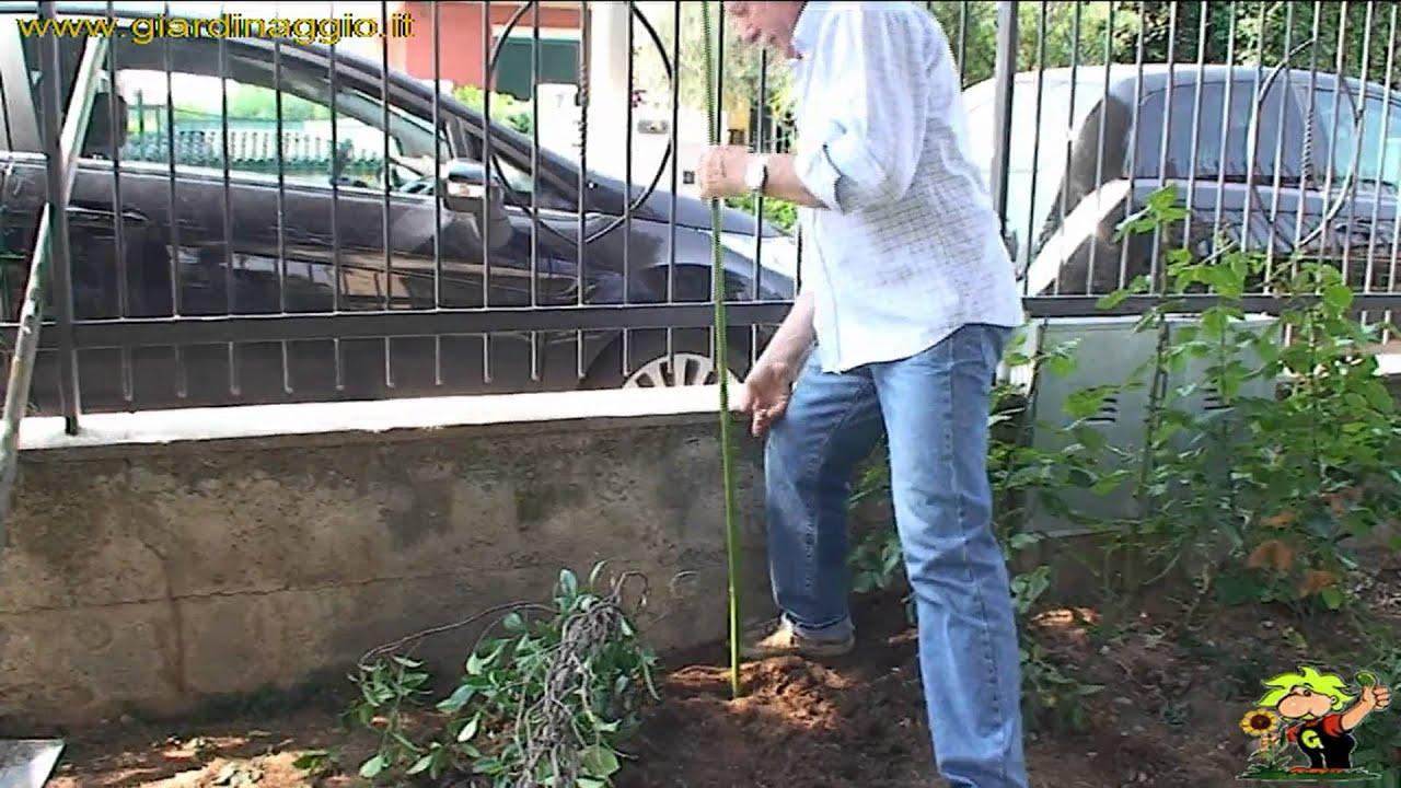 Tutori Per Rose Rampicanti fissare un arbusto a tutori - video tecniche giardinaggio