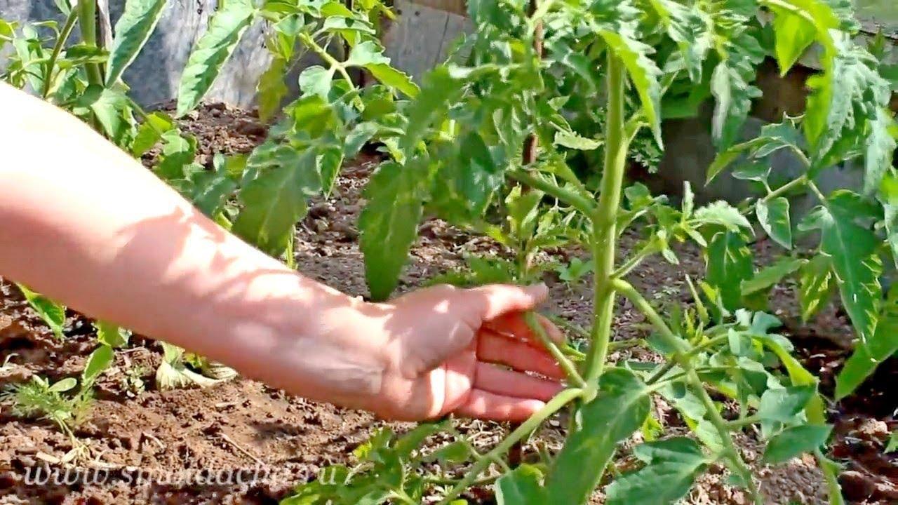 помидоры персей отзывы