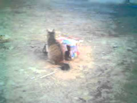 kakazai funny cat