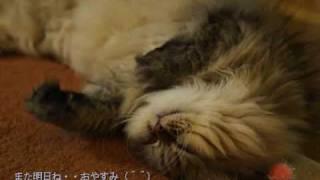 甘えんぼのチンチラ猫リュウが母さんと物語風に おしゃべりしてる癒し系...