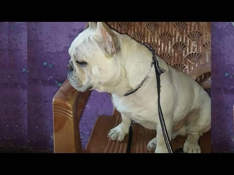 French Bull Dog Puppies In Low Price