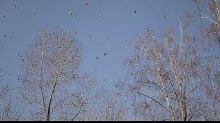 Перелётные птицы Тюменской области. The migratory birds of Tyumen region.