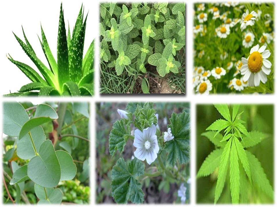 Plantas medicinales y para que sirven youtube for Tipos de hierbas medicinales