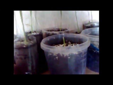 Как вырастить финик из косточки в обычном горшке