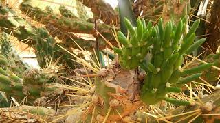 Кактус Цветы Близко