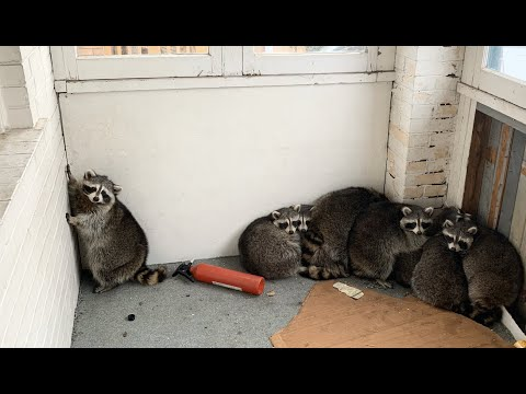 James Burlander - First 2020 Awwww.... How Many Raccoons Are Stuck On This Porch?