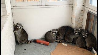 Eleven Raccoons Stuck Inside Porch
