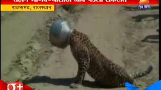 Rajasthan : Leopard Gets His Head Stuck In Search Of Water 30th September 2015