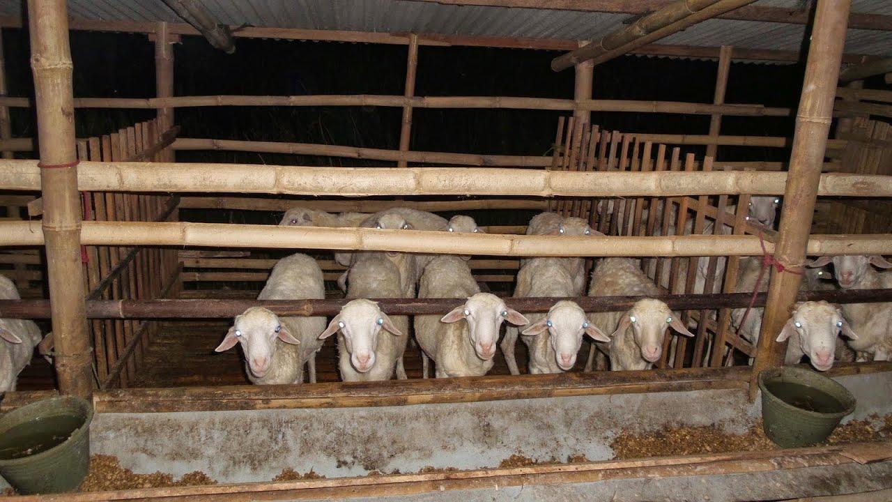 Hasil gambar untuk ternak kambing