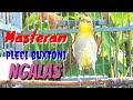 Masteran Pleci Buxtoni Ngalas Isian Istimewa Nalela Kicau  Mp3 - Mp4 Download