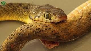 Yılanlar kendilerini de zehirleyebilir mi? (Böcek