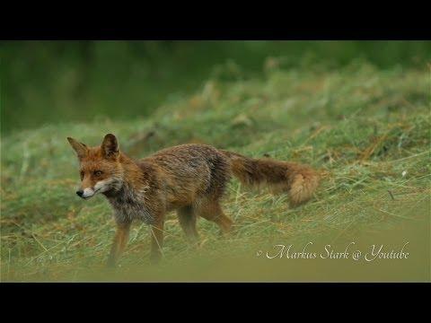 4K - Stock-Footage, Red Fox, UHD-Clip 002