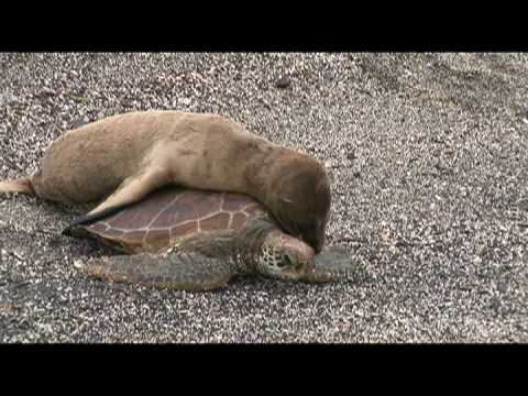 Baby Sea Lion Rides a Turtle in Galápagos!
