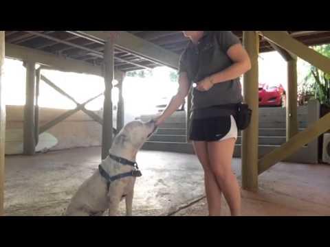 Jax (deaf dog) learns sit, down, & hand target cues