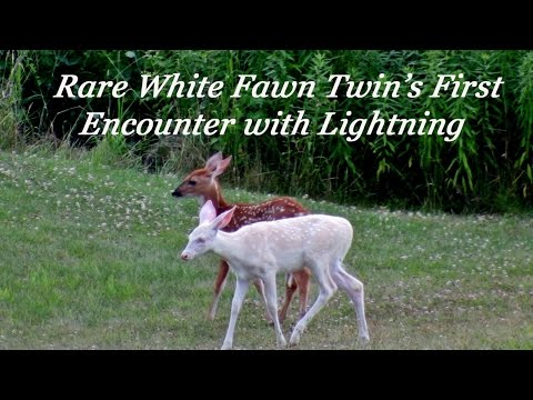 Rare White Fawn's First lightning Encounter