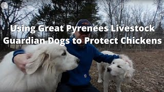 Using Great Pyrenees Livestock Guardian Dogs to Protect Chickens (360 Video VR)
