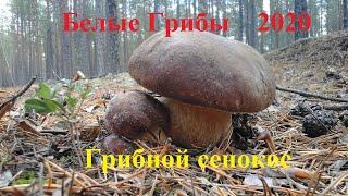 Белые грибы 2020. Просто бомба, сенокос грибов и прекрасная природа. Часть 1.