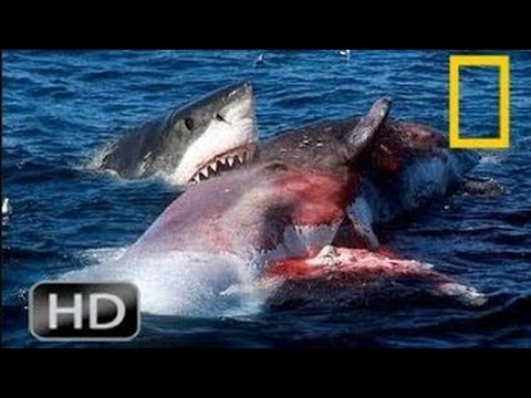 National Geographic Wild Great White Shark vs Orca Kills | A