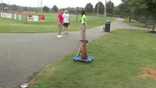 Dog Training: Progressing A Vizsla Puppy's Distraction Training