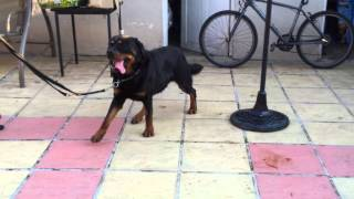 Rottweiler Hip Dysplasia 2 - Rocky