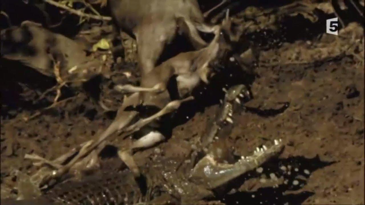Vitesse mortelle dans la savane - Guépard, Crocodile, Lion, Hyène, Aigle... Maxresdefault