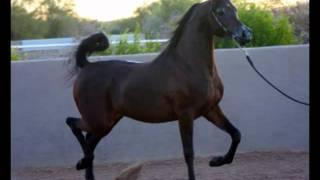 The Monarc (QR Marc x Khaleshah Bey) -  -Gorgeous Arabian Stallion