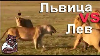 Опасные животные. Дикие животные. Львица защищает своих детенышей