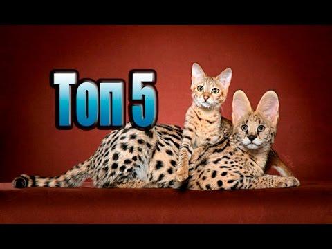 Бенгальская кошка в хабаровске. Бенгальская кошка в хабаровске объявления о продаже кошек, котят с фотографиями.