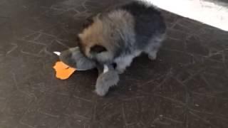 Pomeranian Puppy Killing A Stuffed Toy Duck!