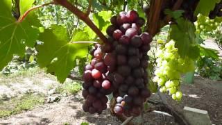 Сорт винограда Зариф видео на 30 07 2016