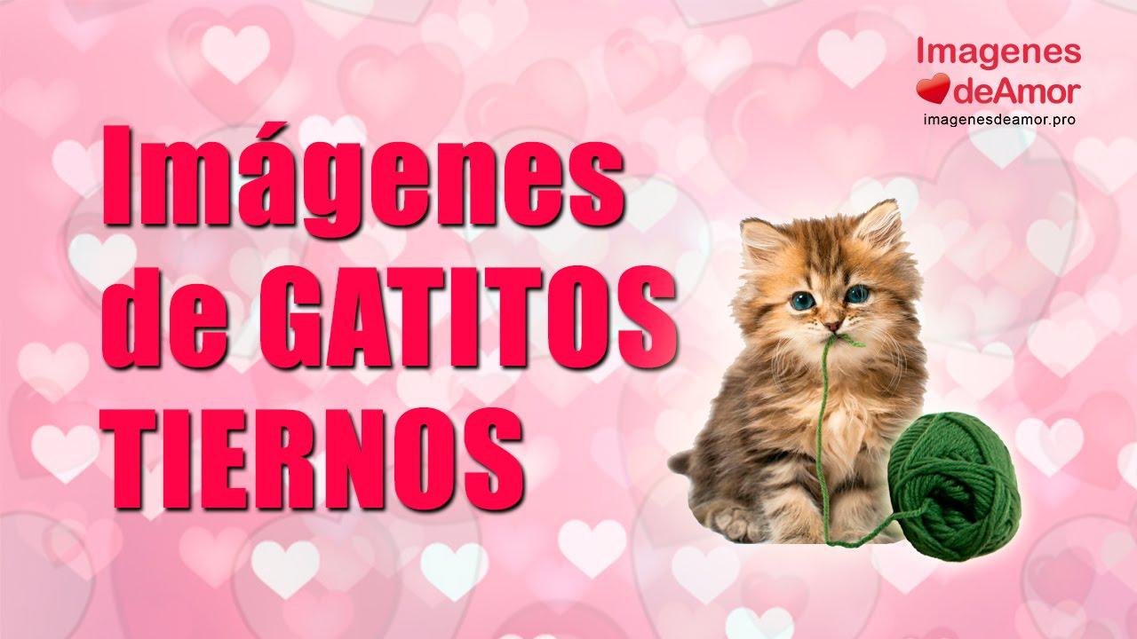 8 Imagenes De Gatitos Tiernos Con Lindas Frases De Amor Youtube