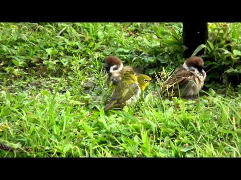 綠繡眼與麻雀洗澡(Japanese White Eye, bathing with Sparrows)