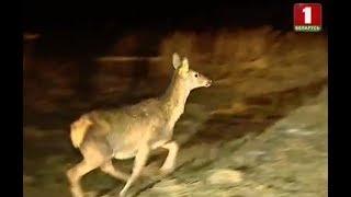 На север Беларуси завезли полсотни благородных оленей