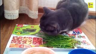 Кот вкусно ест траву