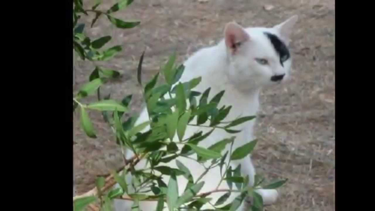 Cat That Look Like Hitler Youtube