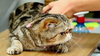 Экзотическая Короткошерстная Кошечка КРАСАВИЦА | Окрас Черный Мраморный