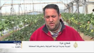 تجربة جديدة لزراعة الفراولة بفلسطين