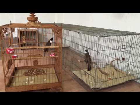 Luyện -Kênh về chim Chào mào của Triệu Triệu