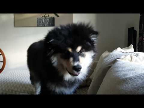 Hupsu the Finnish Lapphund VII
