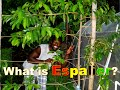 What is Espalier? | Espalier Guanabana fruit tree