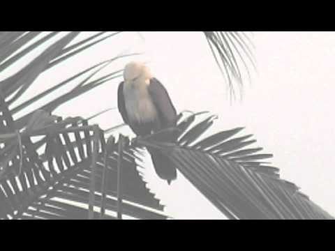 BIRDS OF GOA: BRAHMINY KITE, HALIASTUR INDUS