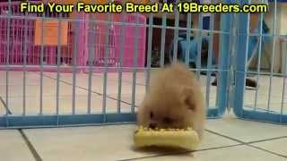 Pomeranian Puppies For Sale, In Albany, County, Georgia, Ga, Alpharetta, Marietta
