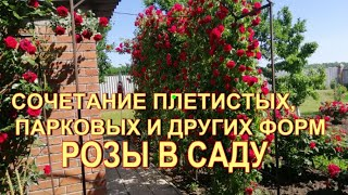 сочетание плетистых, парковых и других форм роз на участке