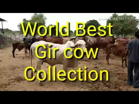 Gir cow farm in ahamadabad Gujrat. Nice Gir cow collection.