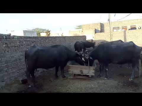 Dairy farming tips and tricks part 2 in Urdu/Hindi / small scale cattle farming /tutorial of farming