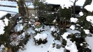 2013.1.15.昨日の大雪で餌を求めて今朝も6羽のワカケホンセイインコがや...