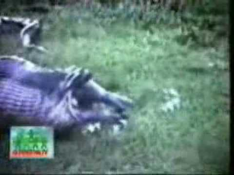 Schlange frisst Nilpferd