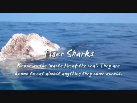 Tiger Sharks, Humpback Whales & Other Hawaiian Marine Sights