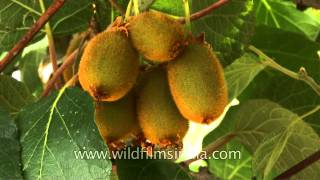 Kiwi fruit almost ready for harvest in Indian Himalaya